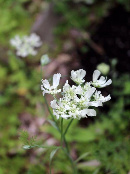 オルレア・ペンステモン・チェリーセージ 初夏の花