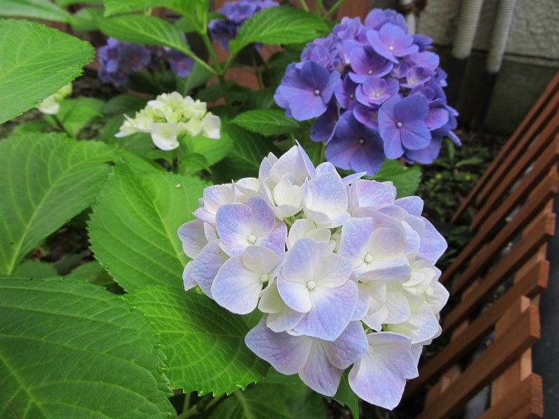 hinatunの!なちゅらる日記-紫陽花