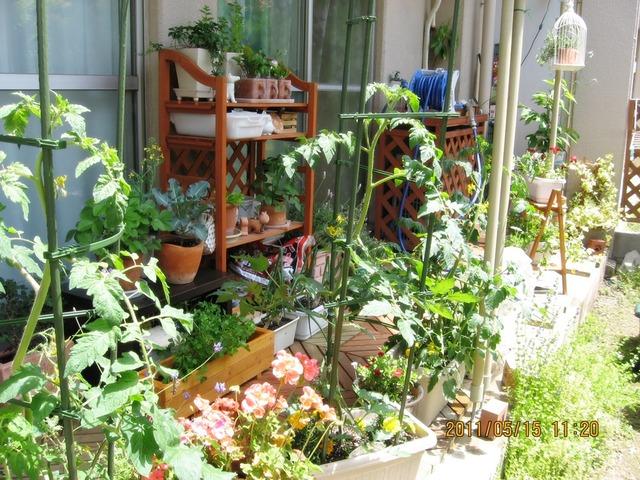 冷えてきましたね。でもトマトの収穫したしりして。そして5年前のお庭とあまりにも素敵な青空。