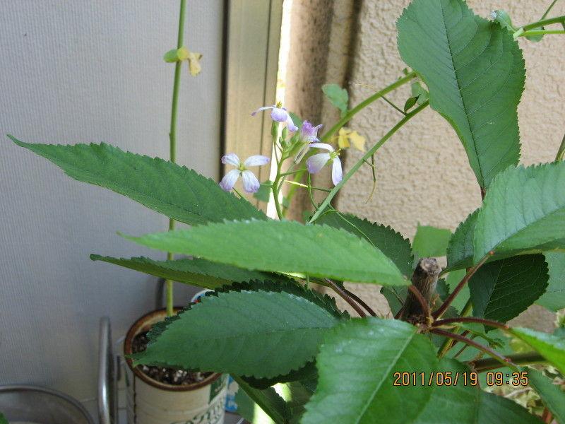 hinatunの!なちゅらる日記-ミニ大根の花