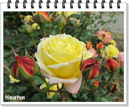 世界に誇るバラ園「花フェスタ記念公園」 (2)