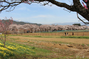眞原桜並木−1
