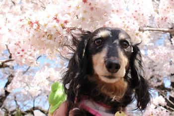 神代桜−4