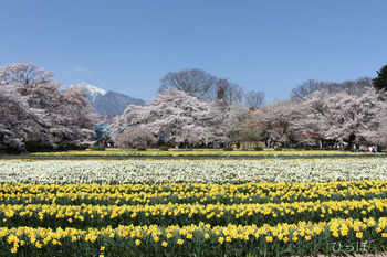 神代桜−2
