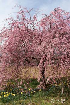 眞原桜並木−3