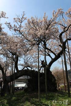 神代桜−1