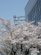 桜 '13