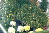 ひらかたの菊 07−2