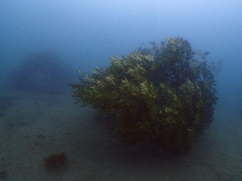 新アオリイカの産卵床 (2)