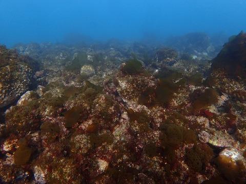 さらに海藻が多くなりやした@平沢