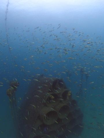 土管魚礁のイサキの群れ@平沢ビーチ
