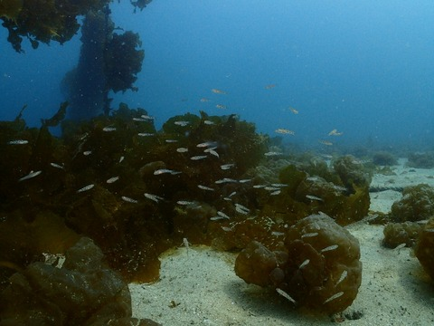 サビハゼの幼魚たち