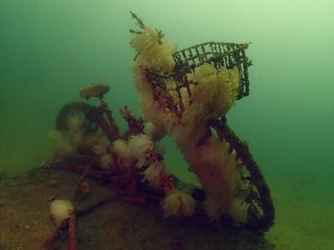 沈自転車にアオリイカの卵