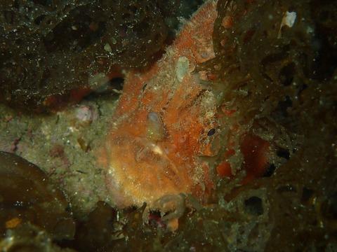 海藻に隠れるカエルちゃん