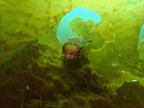 海藻に隠れていたハリセンボン