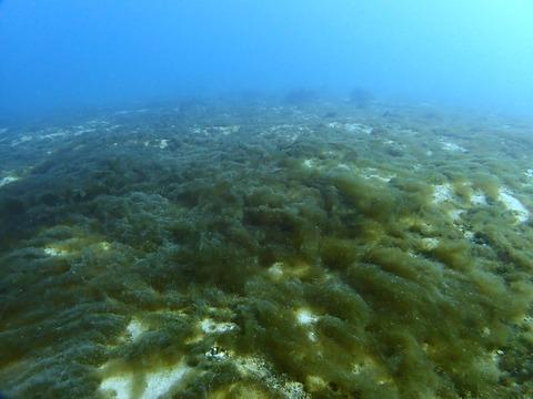 冬の風物詩海藻の絨毯@平沢ビーチ