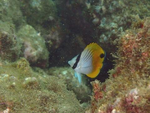 トゲチョウチョウウオの幼魚@平沢ビーチ
