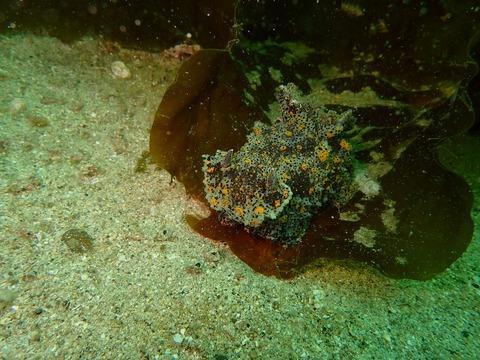 海藻に隠れていたヒカリウミウシ