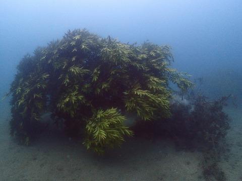 新アオリイカの産卵床 (1)