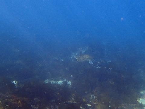 アオウミガメが泳ぐ@平沢ビーチ