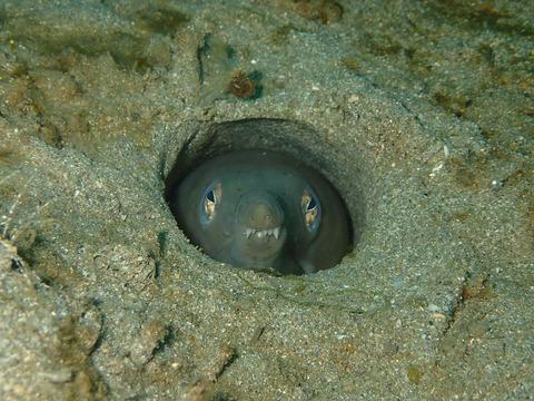 ダイナンウミヘビの正面ヅラ