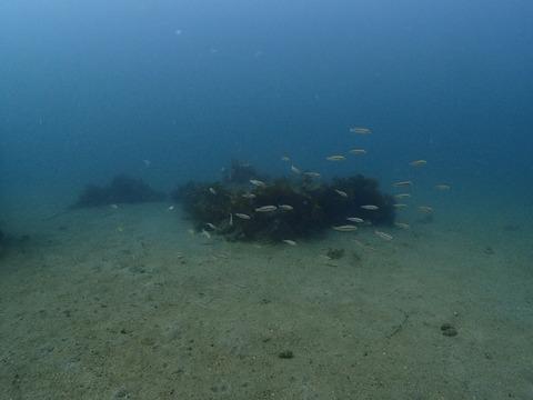 イサキの幼魚たち