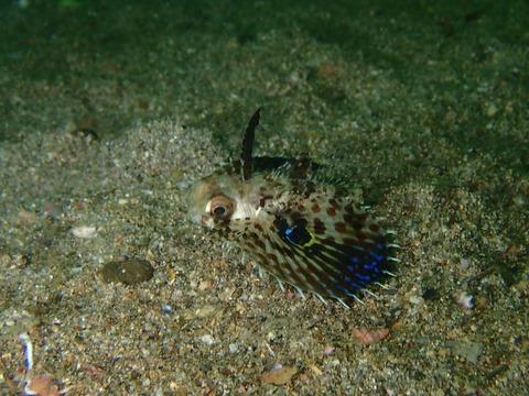 セミホウボウの幼魚