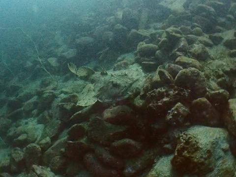 淡島にキアンコウ現る