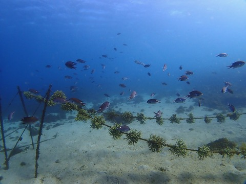 サンゴの養殖エリアは魚で賑やか@平沢ビーチ