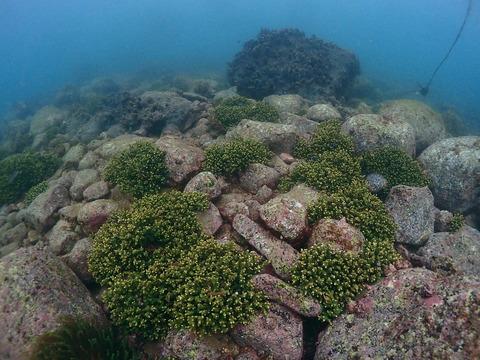 サンゴの群落@平沢ビーチ