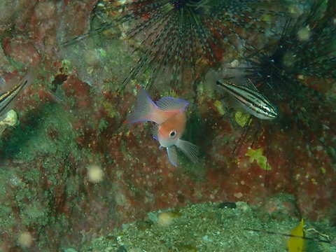 アカオビハナダイの幼魚