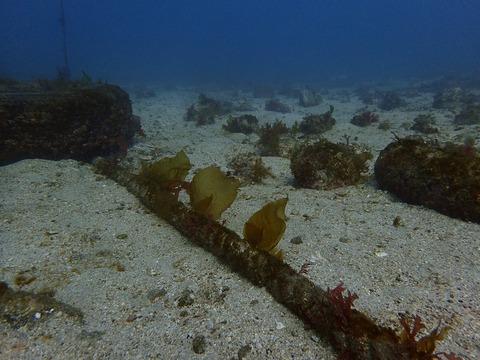 海藻が育ち始めました@平沢ビーチ