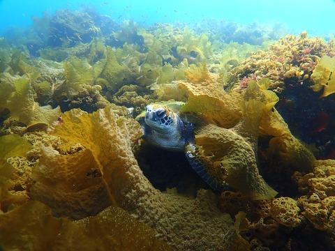 海藻の林でアオウミガメ@平沢ビーチ