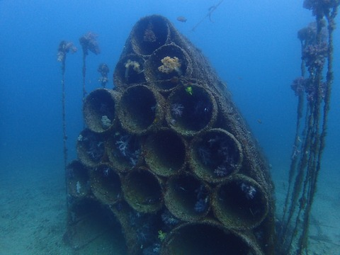 土管魚礁には腔腸類がいっぱい@平沢ビーチ