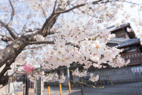 南中振公園桜-15033124