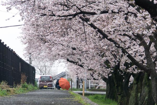 桜-1704078