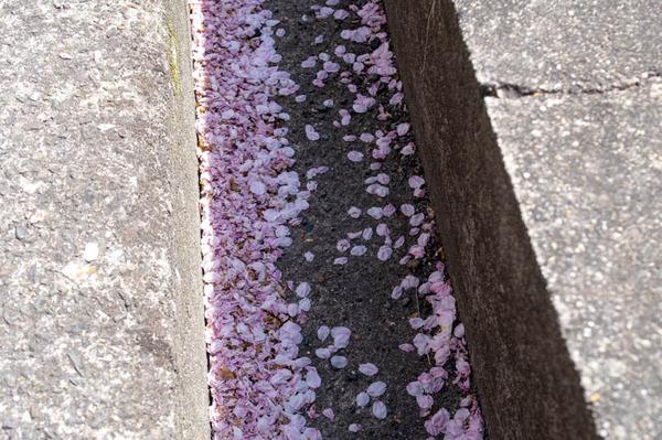 桜amatu -2103315