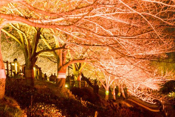 寝屋川桜-17032537