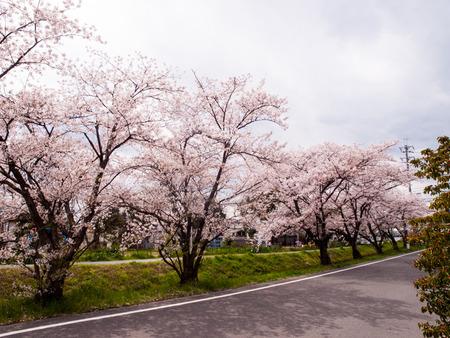 倉治桜堤-1404055