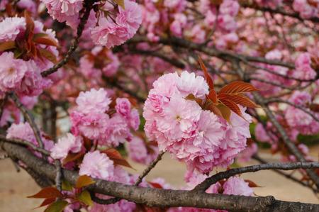 牧野公園の桜130410-06