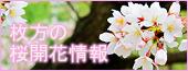 20110403sakura3
