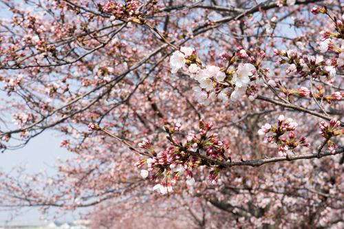 桜フェス-15033002