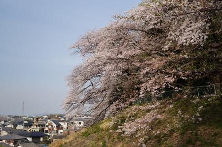 御殿山公園の桜130405-01