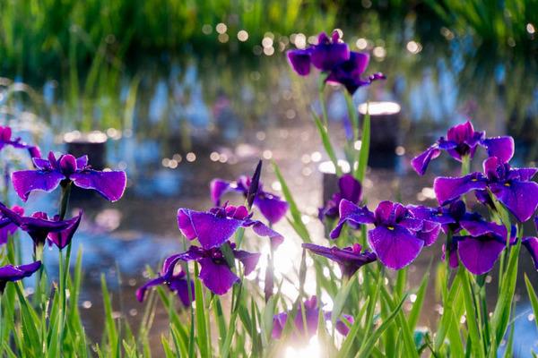 花しょうぶ-16060410