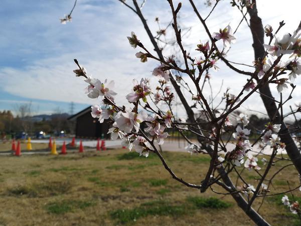 山田池公園で冬に咲く桜【枚方フォト】