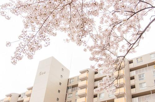 20150403くずは桜-2