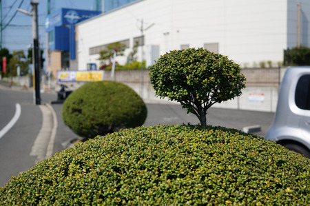 ちょんまげ植木130419-16