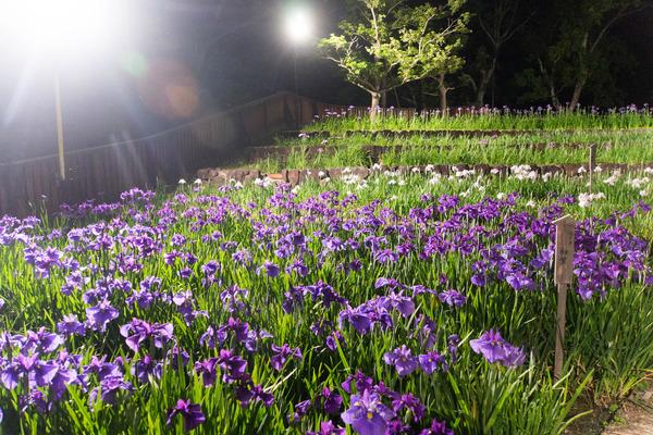 花しょうぶ-19060312