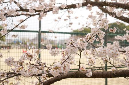 香里ヶ丘の桜-8