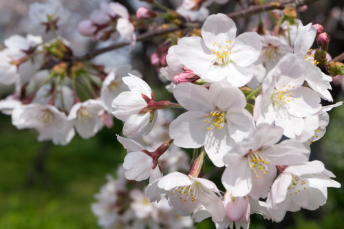 桜-15033104